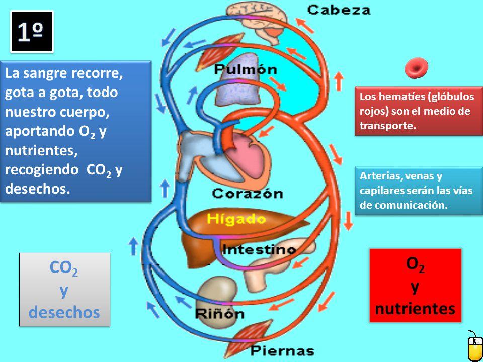 1º O2 CO2 y y desechos nutrientes