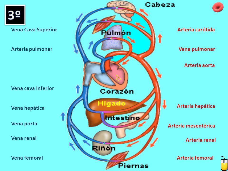 3º Vena Cava Superior Arteria carótida Arteria pulmonar Vena pulmonar