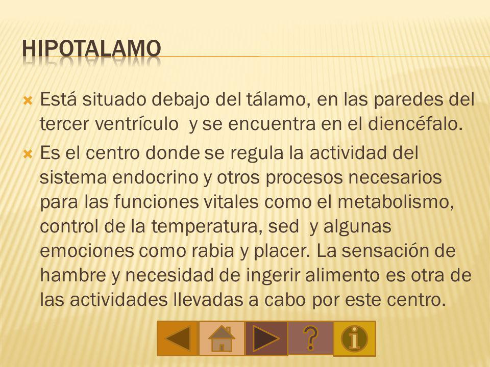 Hipotalamo Está situado debajo del tálamo, en las paredes del tercer ventrículo y se encuentra en el diencéfalo.