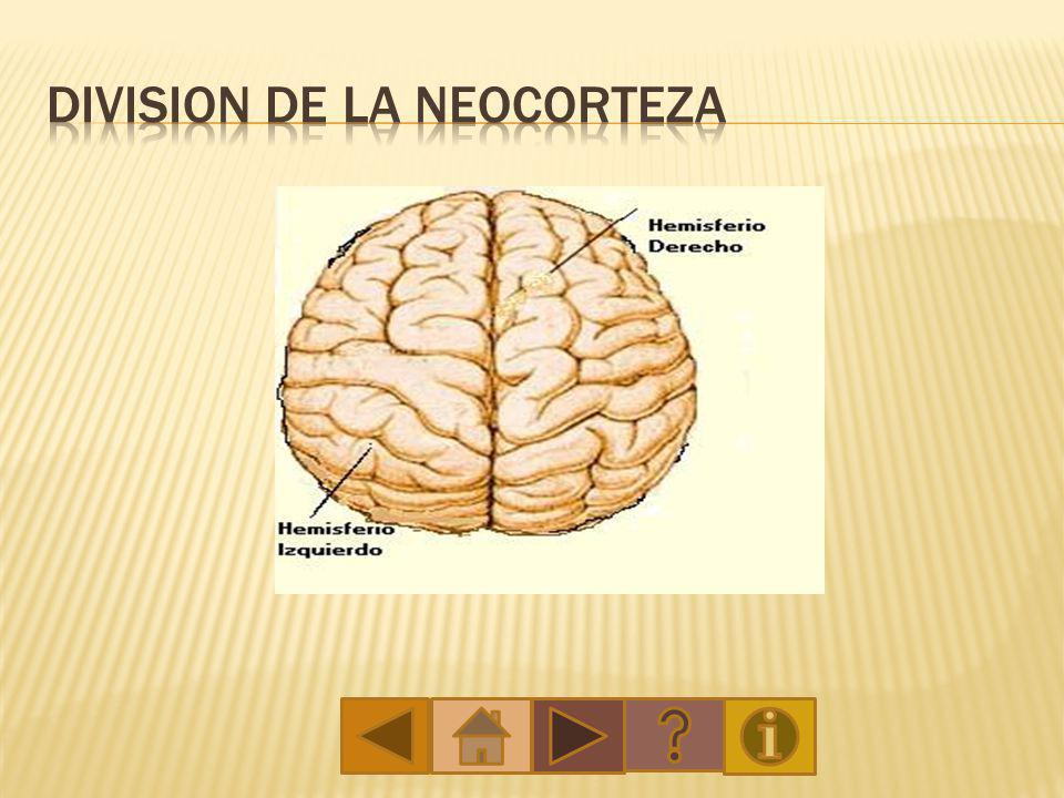 Division de la neocorteza