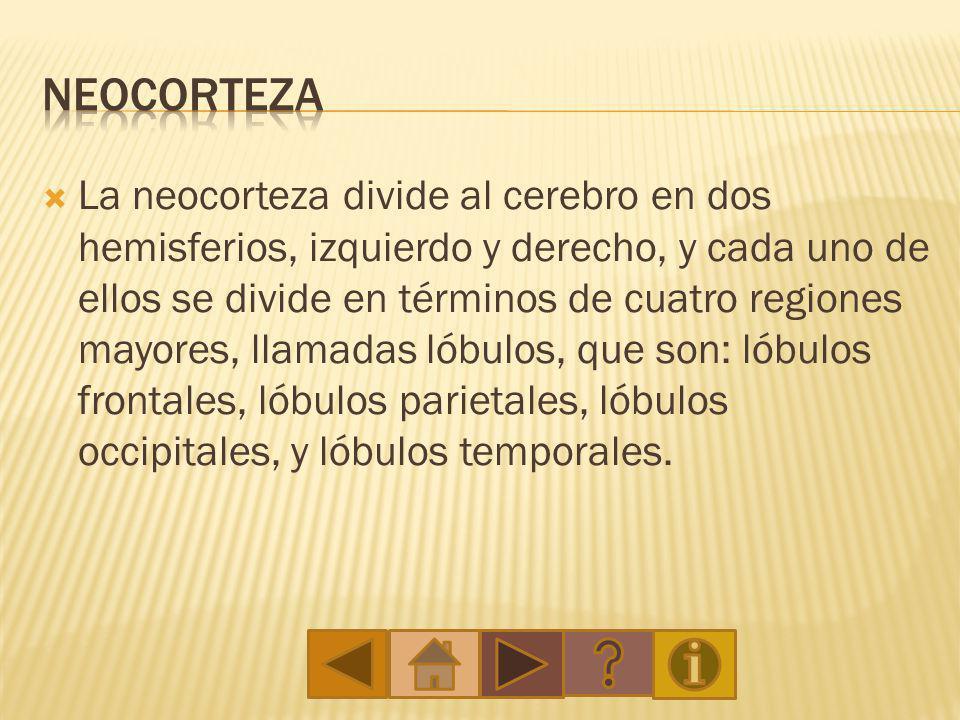 neocorteza