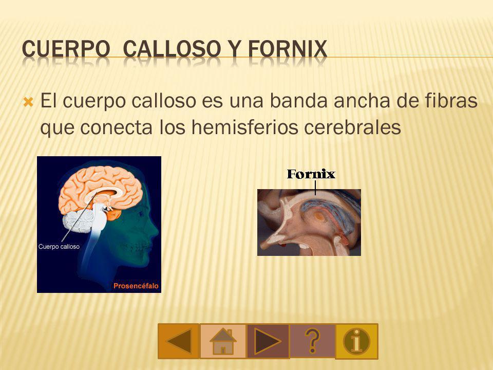 Cuerpo calloso y Fornix