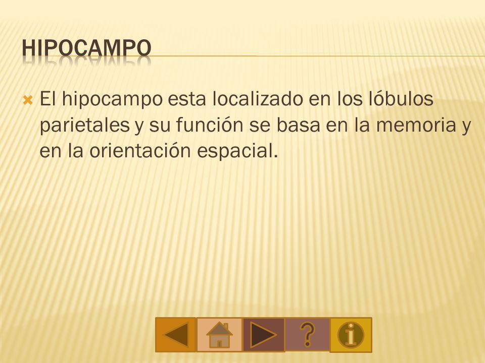 Hipocampo El hipocampo esta localizado en los lóbulos parietales y su función se basa en la memoria y en la orientación espacial.