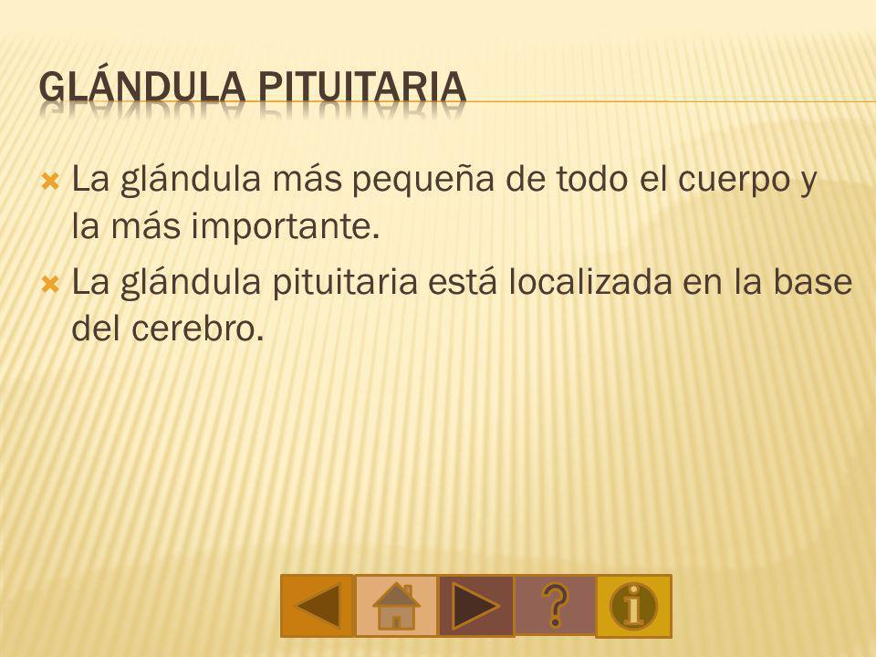 Glándula Pituitaria La glándula más pequeña de todo el cuerpo y la más importante.