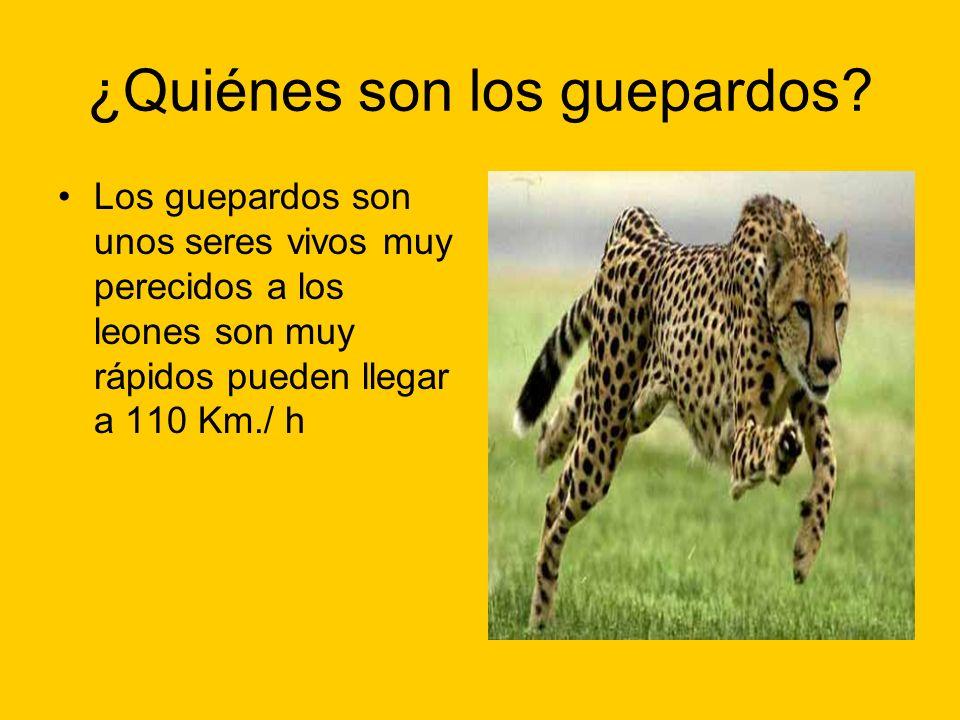 ¿Quiénes son los guepardos