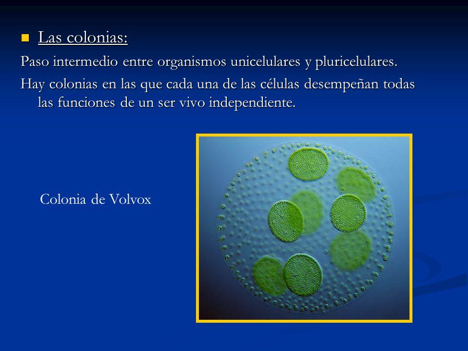 Las colonias: Paso intermedio entre organismos unicelulares y pluricelulares.