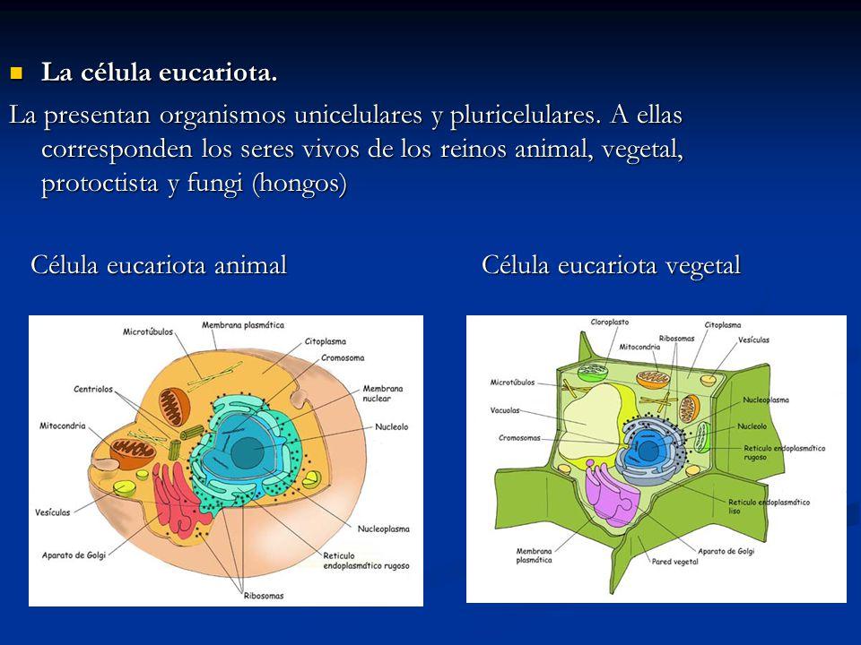 La célula eucariota.
