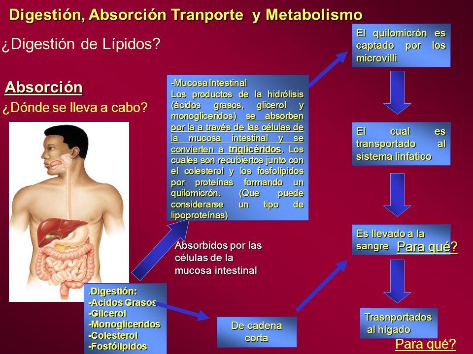 Digestión, Absorción Tranporte y Metabolismo