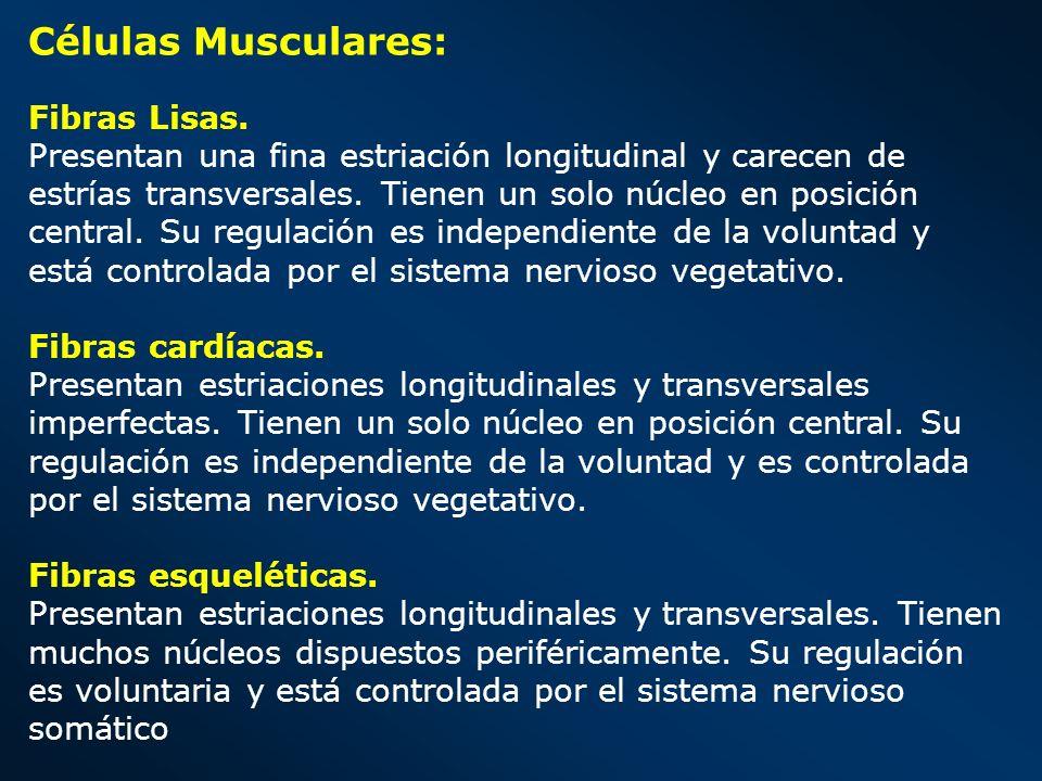 Células Musculares: Fibras Lisas.