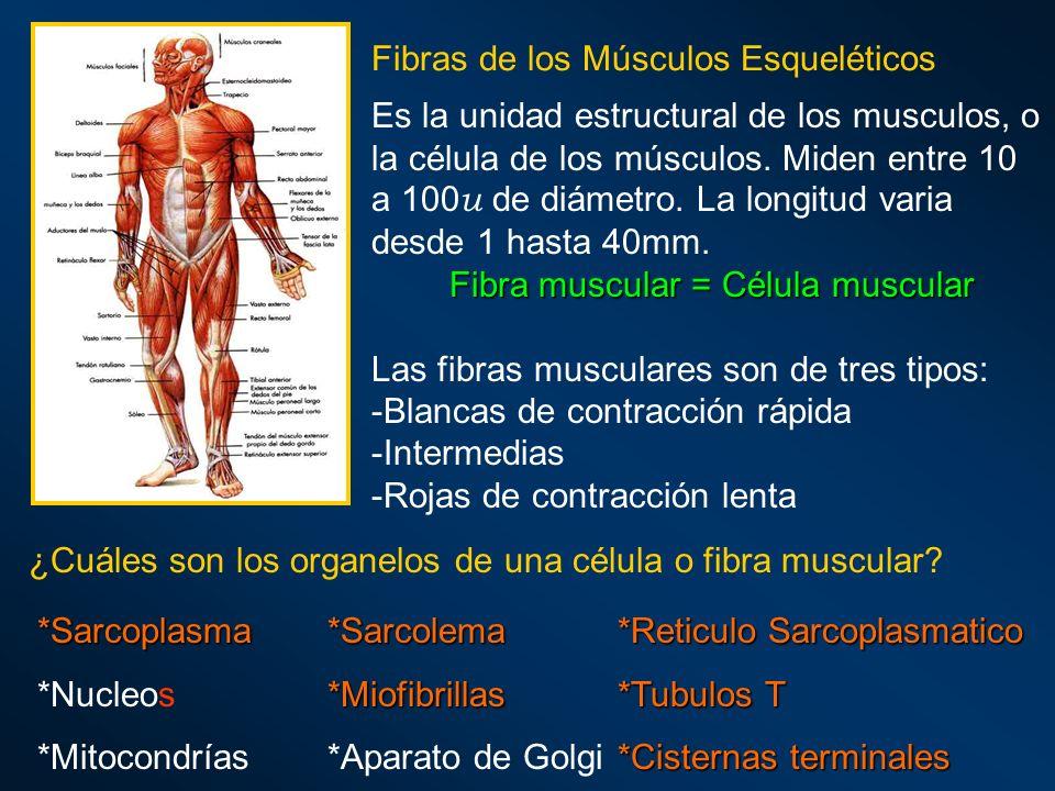 Fibras de los Músculos Esqueléticos