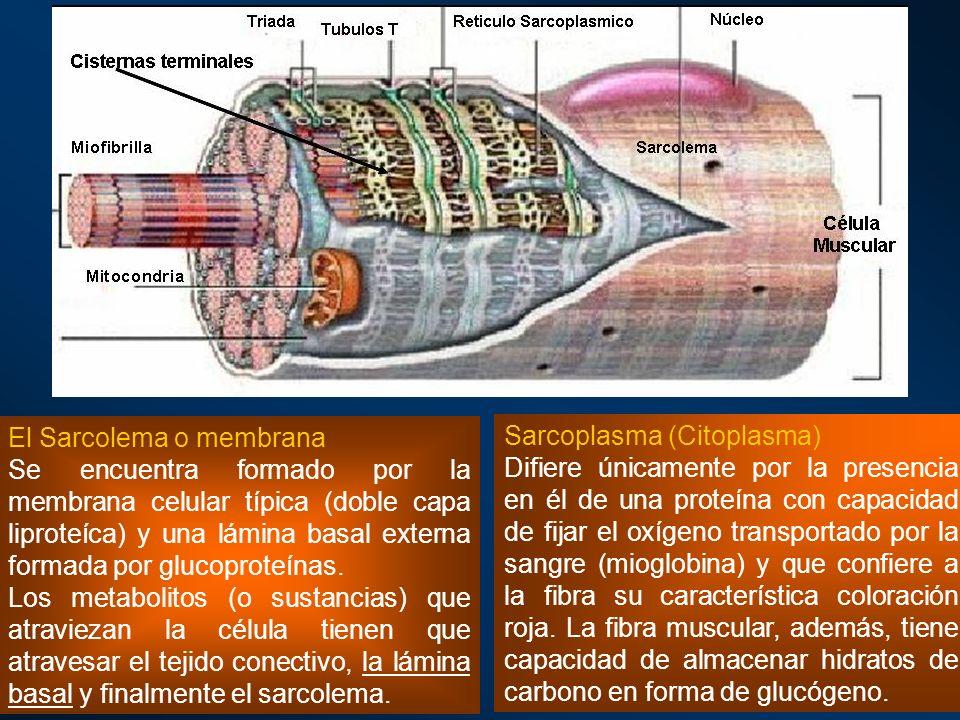 El Sarcolema o membrana