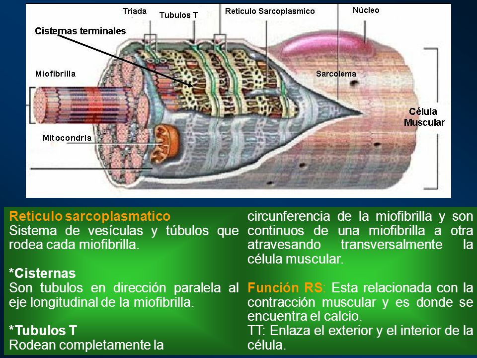 Reticulo sarcoplasmatico
