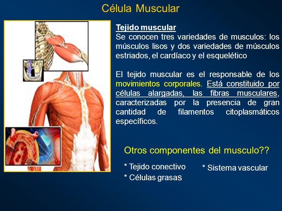 Célula Muscular Otros componentes del musculo Tejido muscular