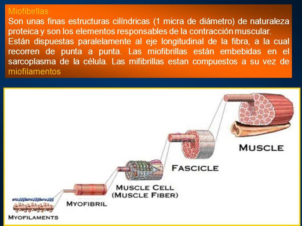 Miofibirllas