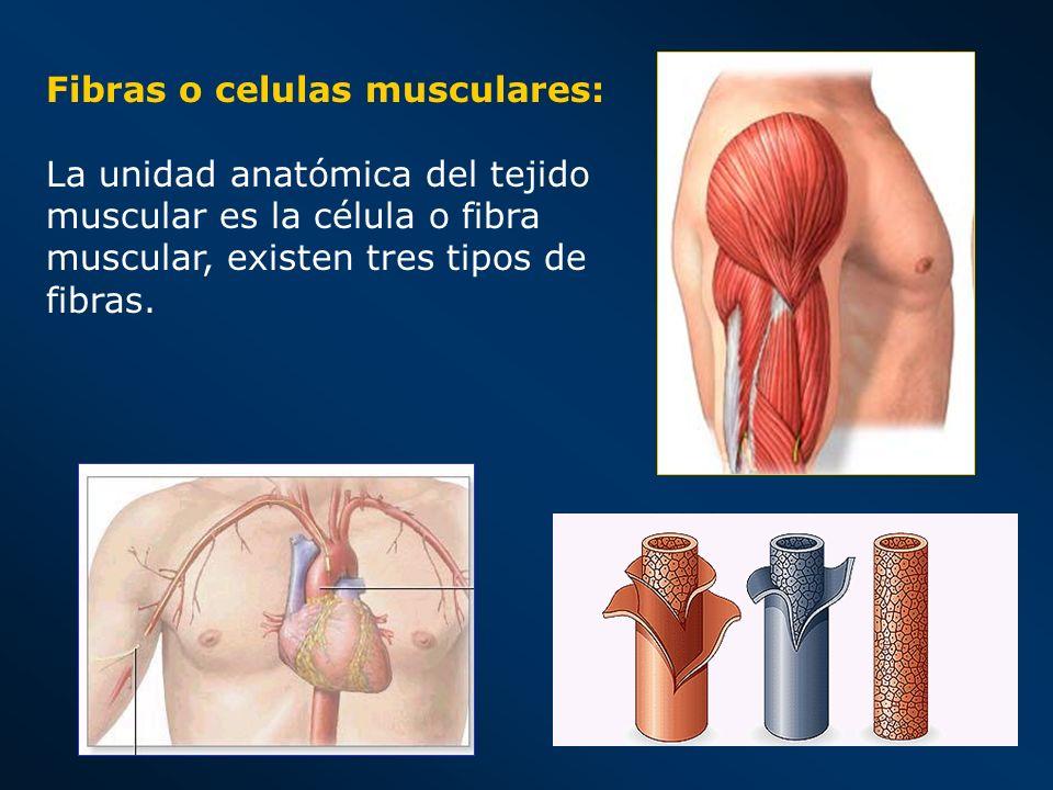 Fibras o celulas musculares:
