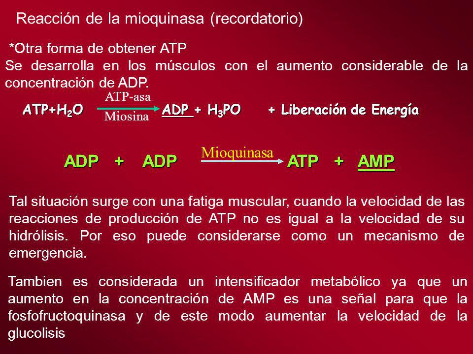 ADP + ADP ATP + AMP Reacción de la mioquinasa (recordatorio)