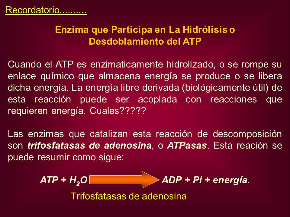 Enzima que Participa en La Hidrólisis o Desdoblamiento del ATP