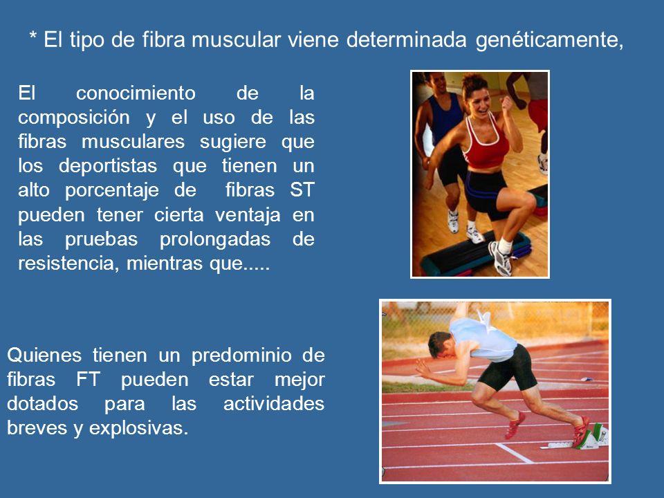 * El tipo de fibra muscular viene determinada genéticamente,