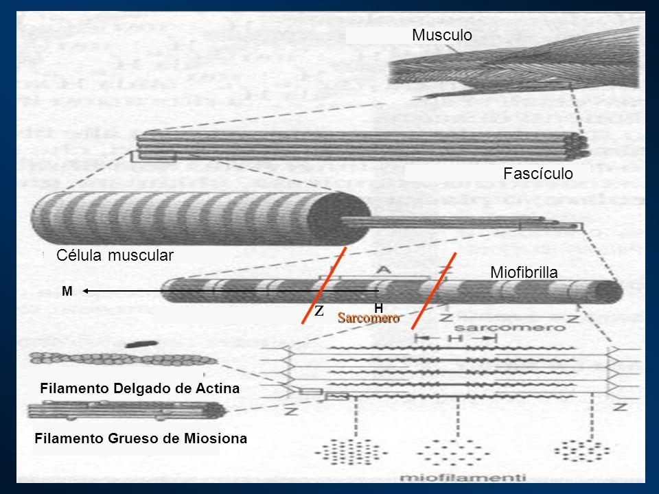 z Musculo Fascículo Célula muscular Miofibrilla Sarcomero