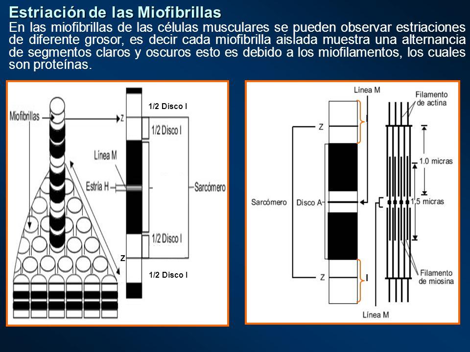 Estriación de las Miofibrillas