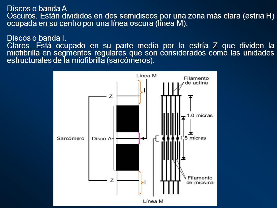 Discos o banda A.Oscuros. Están divididos en dos semidiscos por una zona más clara (estria H) ocupada en su centro por una línea oscura (línea M).