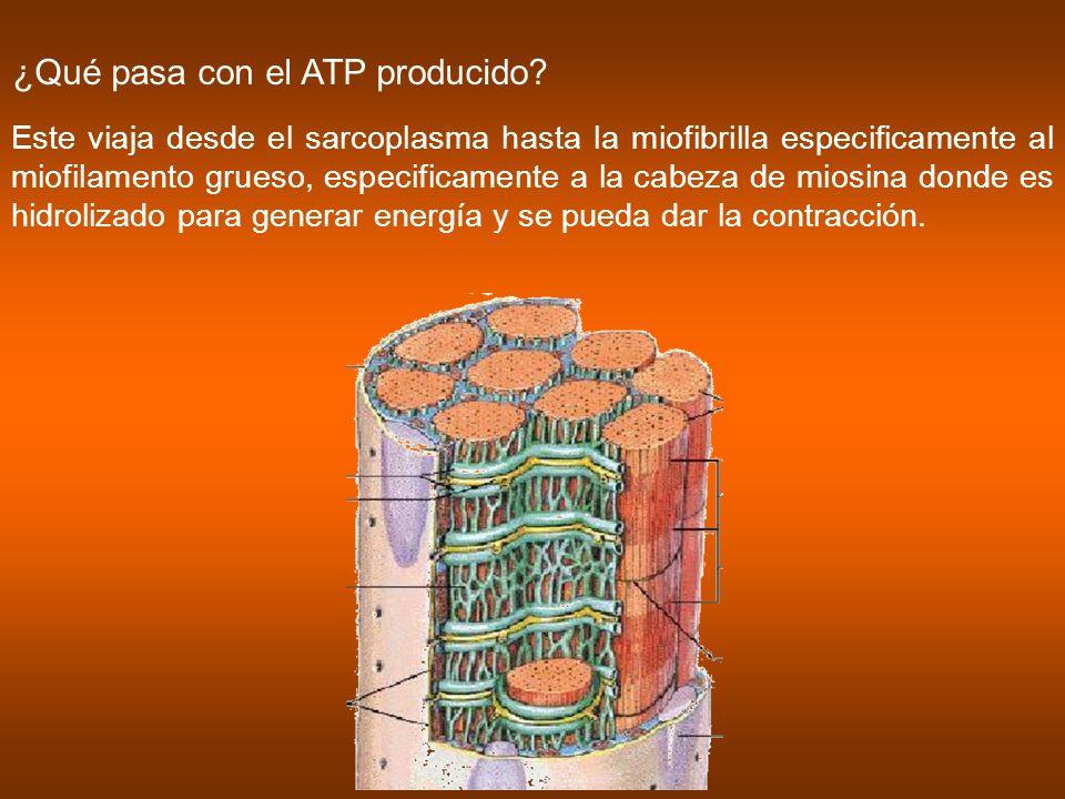 ¿Qué pasa con el ATP producido