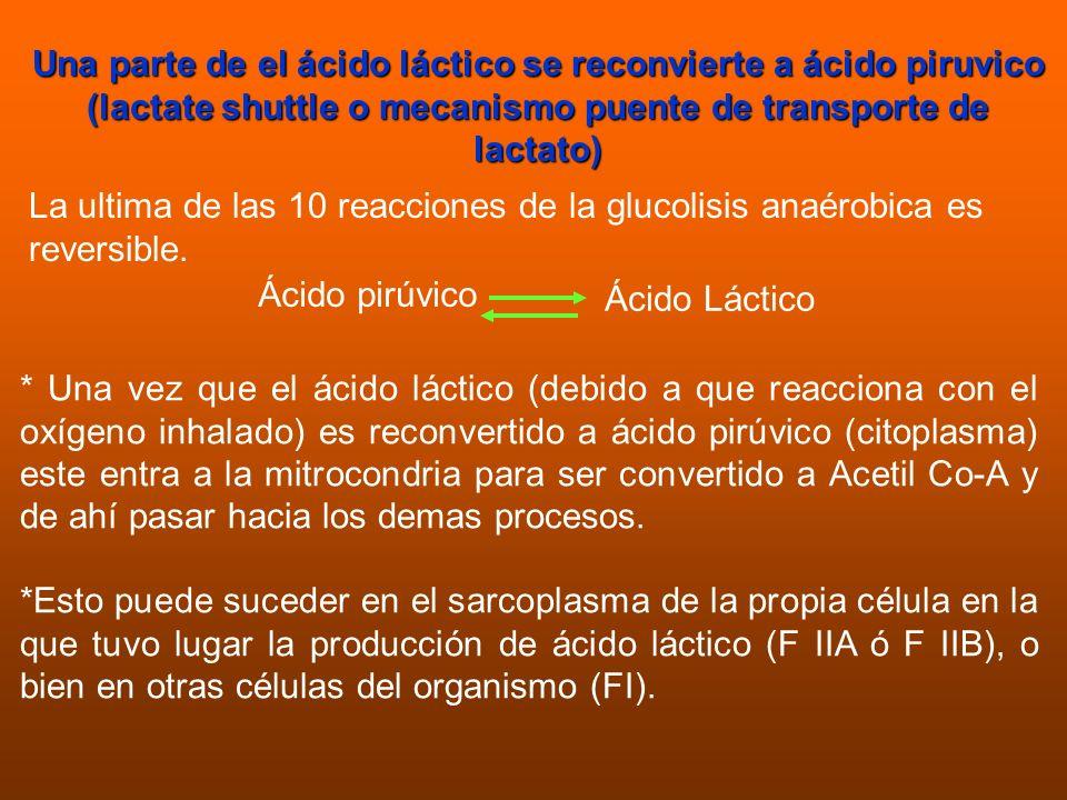 Una parte de el ácido láctico se reconvierte a ácido piruvico (lactate shuttle o mecanismo puente de transporte de lactato)