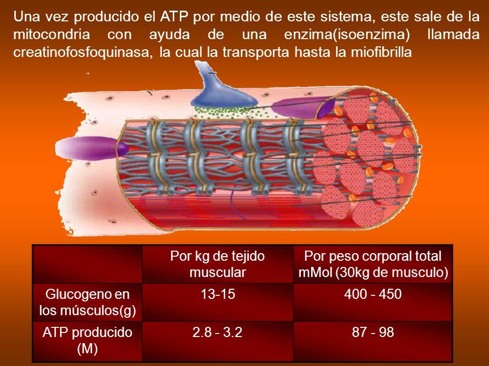 Una vez producido el ATP por medio de este sistema, este sale de la mitocondria con ayuda de una enzima(isoenzima) llamada creatinofosfoquinasa, la cual la transporta hasta la miofibrilla