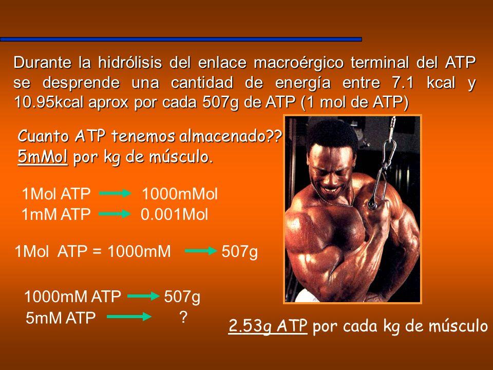 2.53g ATP por cada kg de músculo
