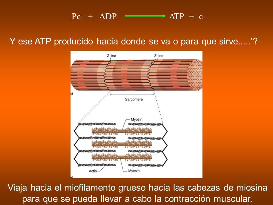 Y ese ATP producido hacia donde se va o para que sirve.....'