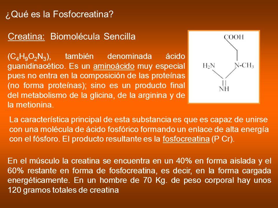 ¿Qué es la Fosfocreatina Creatina: Biomolécula Sencilla