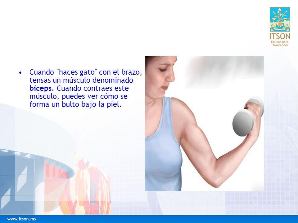Cuando haces gato con el brazo, tensas un músculo denominado bíceps