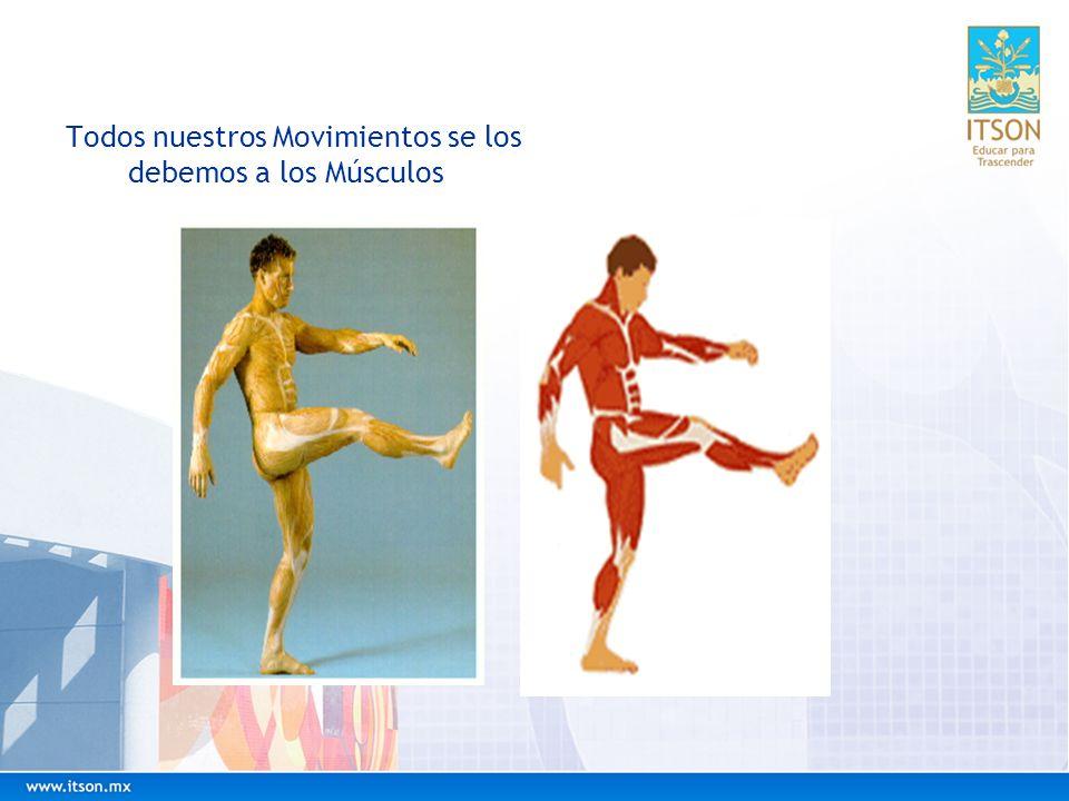 Todos nuestros Movimientos se los debemos a los Músculos