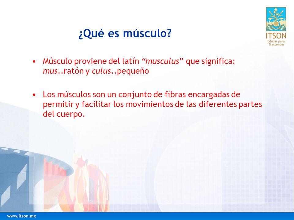 ¿Qué es músculo Músculo proviene del latín musculus que significa: mus..ratón y culus..pequeño.