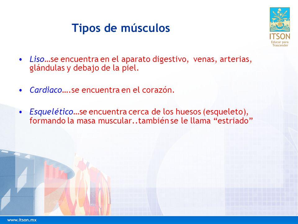 Tipos de músculos Liso…se encuentra en el aparato digestivo, venas, arterias, glándulas y debajo de la piel.