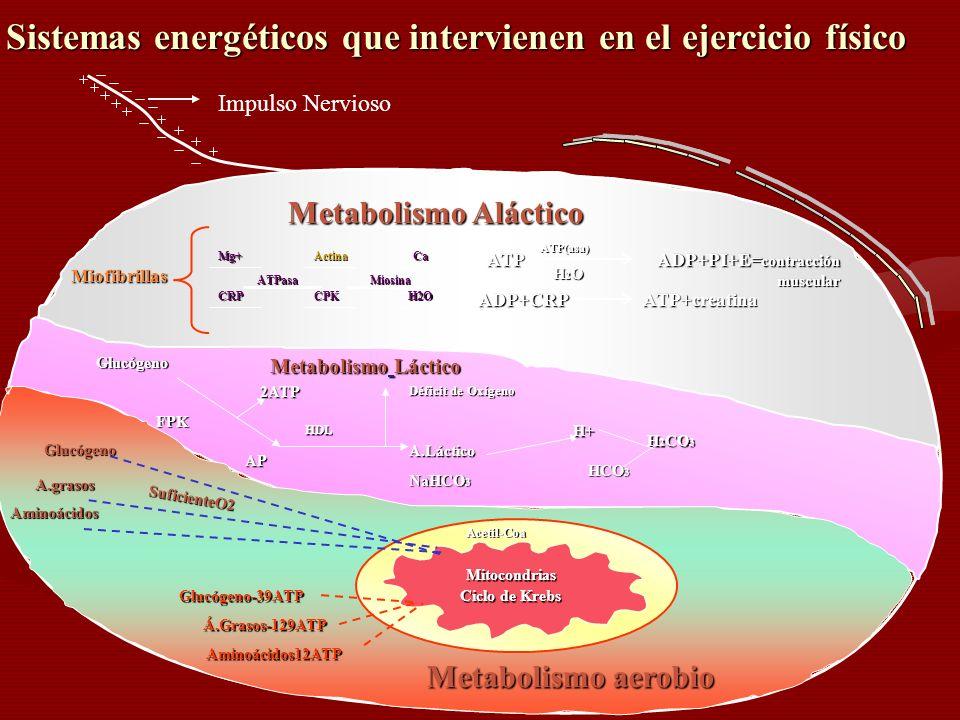 Sistemas energéticos que intervienen en el ejercicio físico