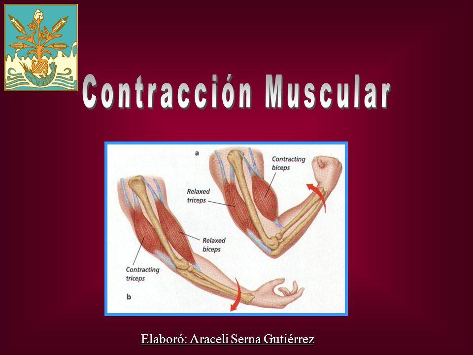 Contracción Muscular Elaboró: Araceli Serna Gutiérrez