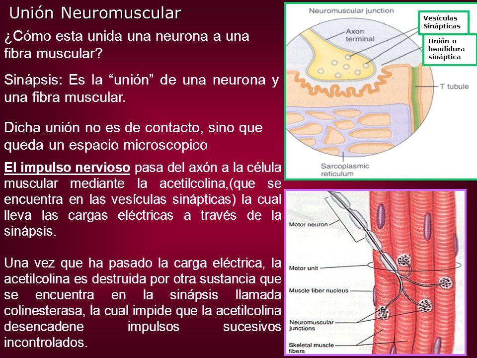 Unión Neuromuscular ¿Cómo esta unida una neurona a una fibra muscular
