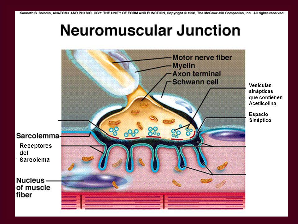Receptores del Sarcolema Vesículas sinápticas que contienen