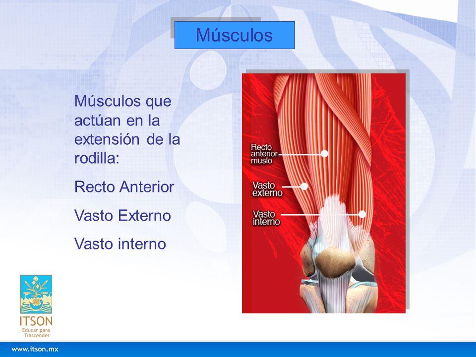 Músculos Músculos que actúan en la extensión de la rodilla: