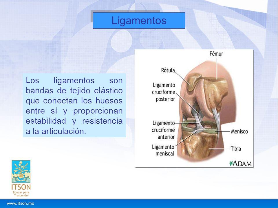 LigamentosLos ligamentos son bandas de tejido elástico que conectan los huesos entre sí y proporcionan estabilidad y resistencia a la articulación.