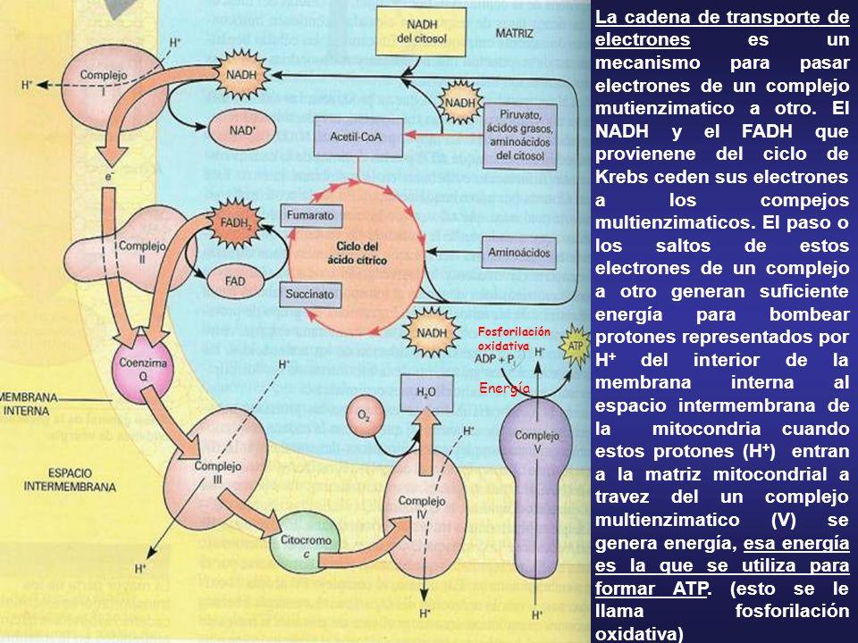 La cadena de transporte de electrones es un mecanismo para pasar electrones de un complejo mutienzimatico a otro. El NADH y el FADH que provienene del ciclo de Krebs ceden sus electrones a los compejos multienzimaticos. El paso o los saltos de estos electrones de un complejo a otro generan suficiente energía para bombear protones representados por H+ del interior de la membrana interna al espacio intermembrana de la mitocondria cuando estos protones (H+) entran a la matriz mitocondrial a travez del un complejo multienzimatico (V) se genera energía, esa energía es la que se utiliza para formar ATP. (esto se le llama fosforilación oxidativa)