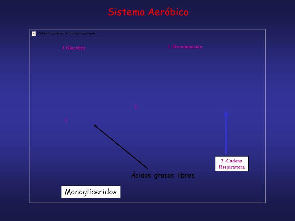 Sistema Aeróbico Monogliceridos Ácidos grasos libres 1.-Desaminación