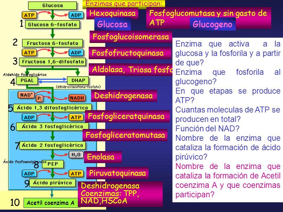 1 2 3 4 5 6 7 8 9 10 Glucosa Glucogeno Hexoquinasa Fosfofructoquinasa