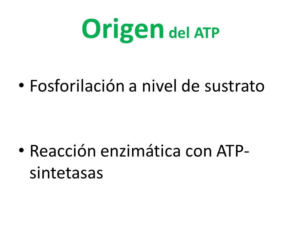 Origen del ATP Fosforilación a nivel de sustrato
