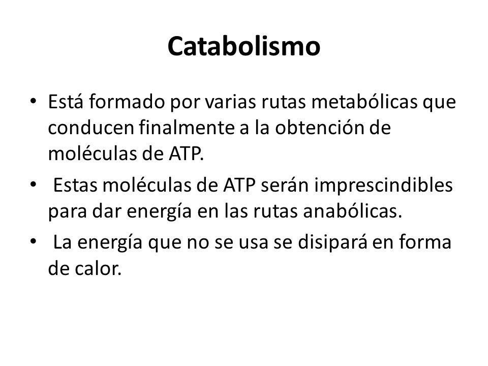 Catabolismo Está formado por varias rutas metabólicas que conducen finalmente a la obtención de moléculas de ATP.