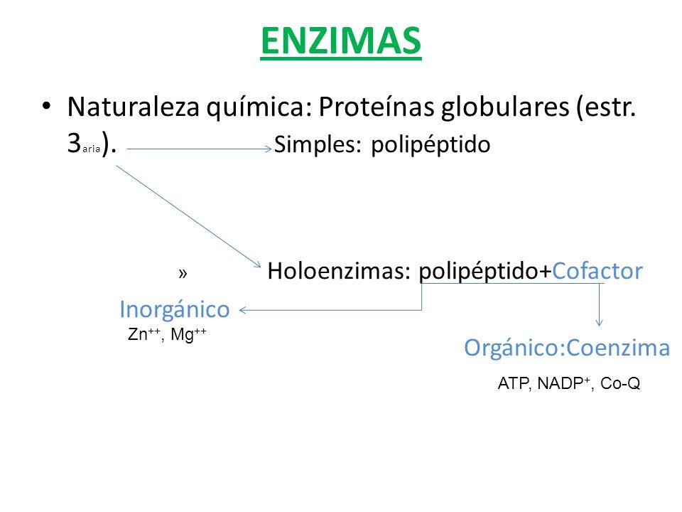 ENZIMAS Naturaleza química: Proteínas globulares (estr. 3aria). Simples: polipéptido.
