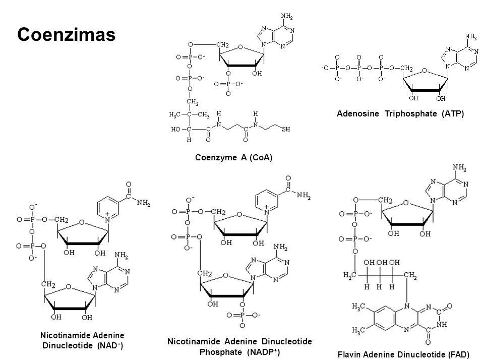 Coenzimas Adenosine Triphosphate (ATP) Coenzyme A (CoA)