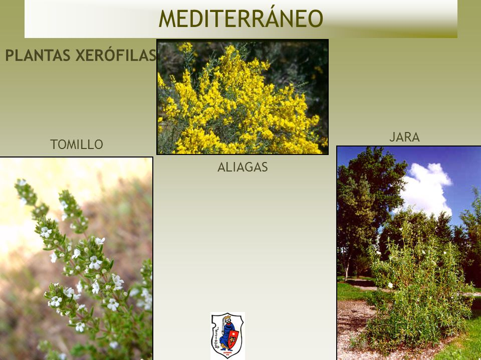 MEDITERRÁNEO PLANTAS XERÓFILAS JARA TOMILLO ALIAGAS
