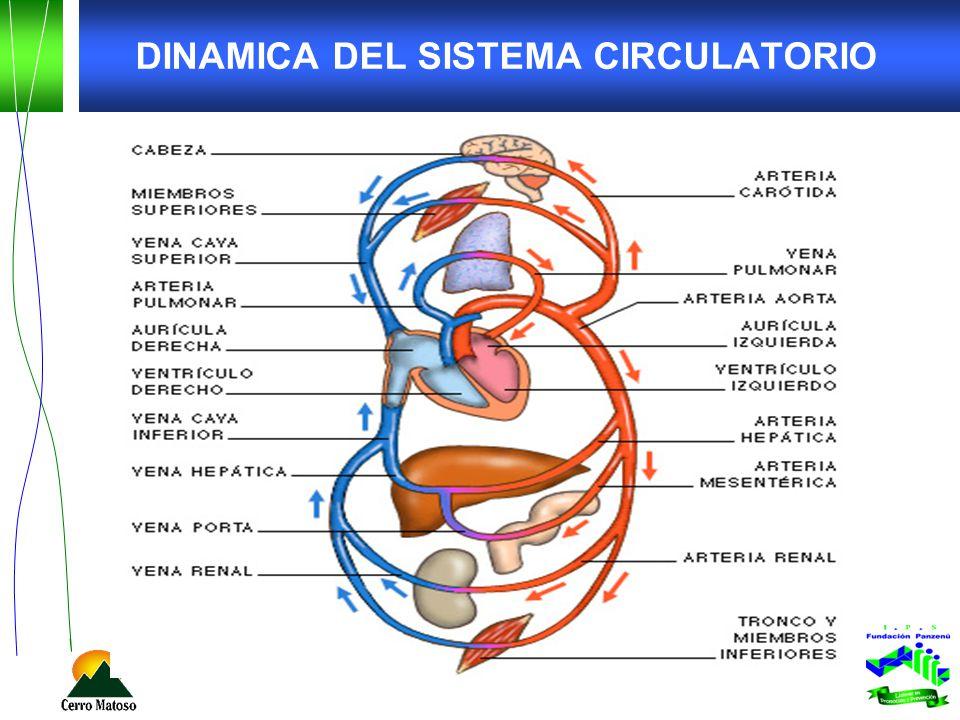DINAMICA DEL SISTEMA CIRCULATORIO